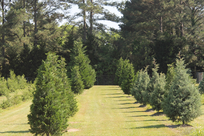 Maphis Christmas Trees