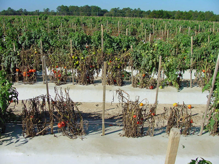 Fig. 1: A tomato field in Florida with severe incidence of bacterial wilt. Photo credit: Mathews Paret