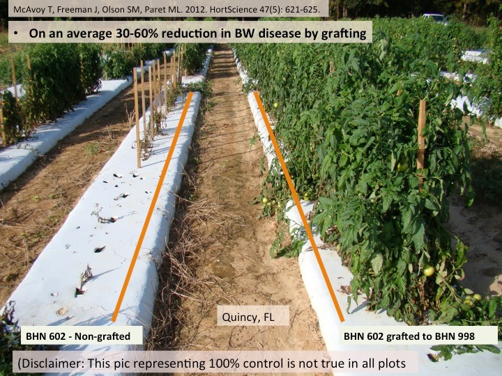 Fig. 2: Demonstration of the use of grafting as a successful tool for bacterial wilt management
