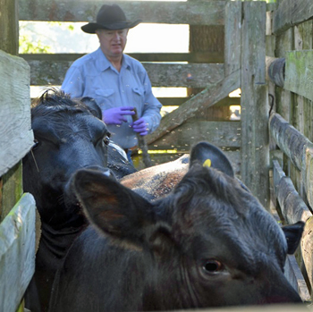 Gerrell cow pens