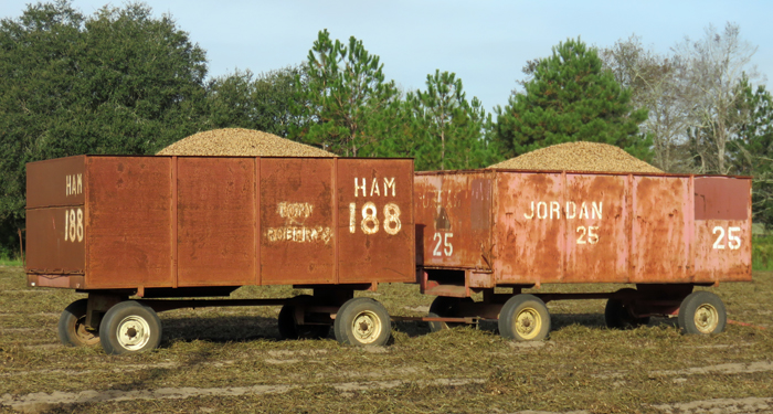 Peanut wagons loaded with peanuts are ready for hauling to the buying point. Photo credit: Doug Mayo