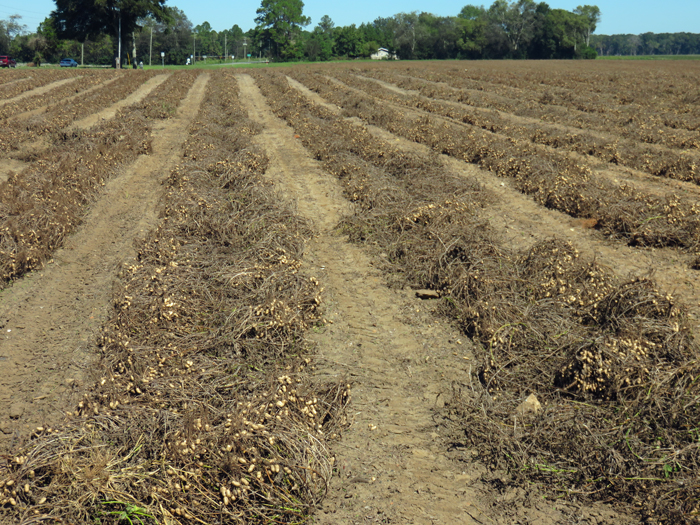 Jackson County peanuts dug ahaed of the tropical wave sate for 12 days waiting on sunshine to dry the field. Photo credit: Doug Mayo