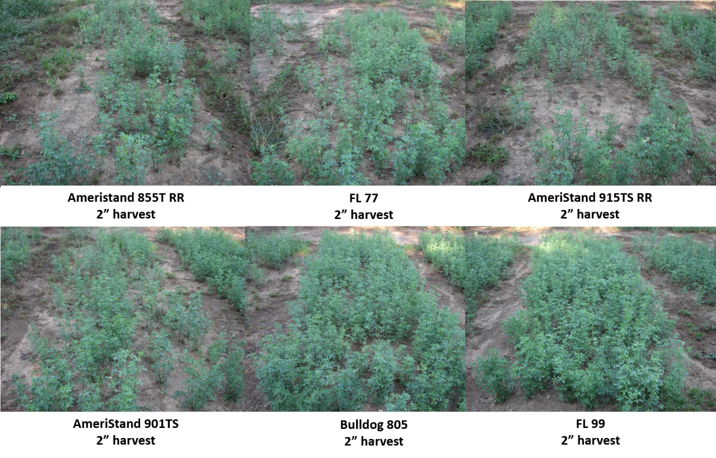 Figure 3. Alfalfa varieties after two years of harvests at UF/IFAS – NFREC, Marianna, FL. Photo credit: Jose Dubeux