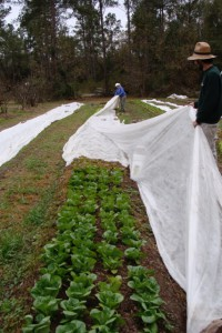 Frost cloth covering lettuce. Photo by Turkey Hill Farm.