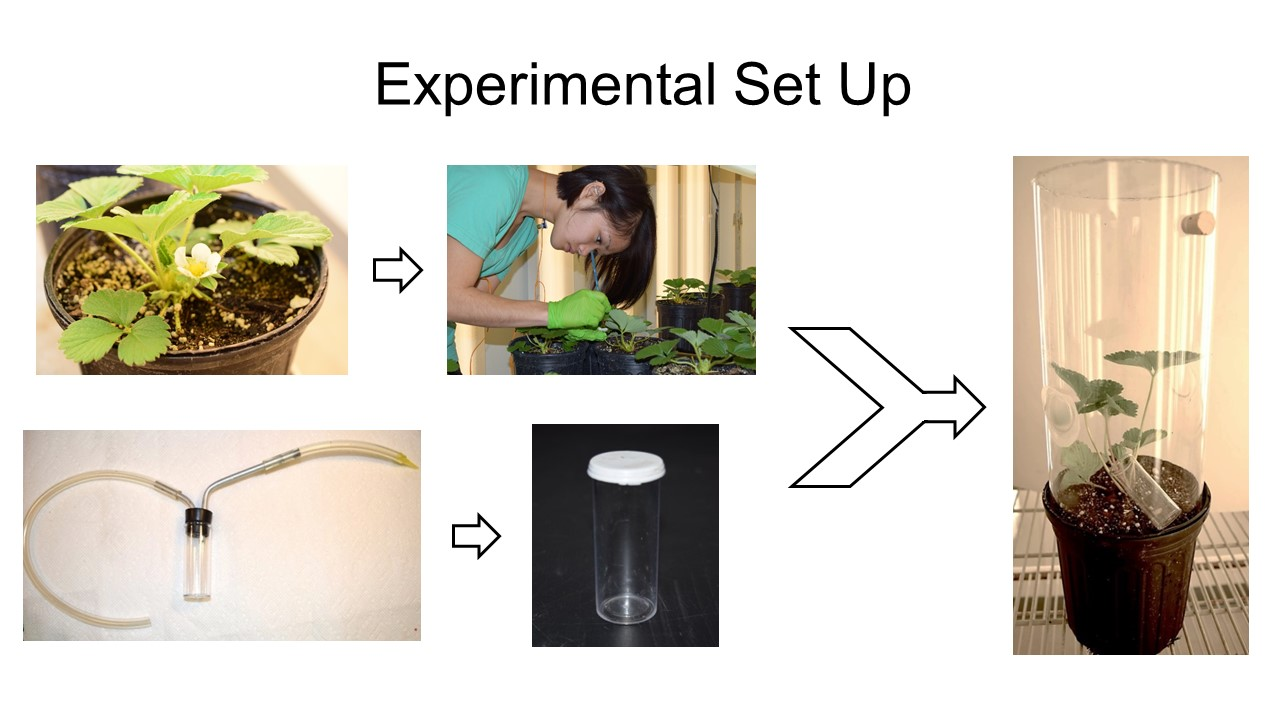 Figure 2. Procedures in the experiments conducted to characterize and quantify thrips injury to strawberry. Photo credit: Iris Strzyzewski
