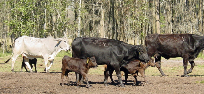 Figure 1. Cow-calf pairs shortly after calving, cow body condition score affects milk production and reproductive success (Gainesville, FL; Photo credit: Matt Hersom).