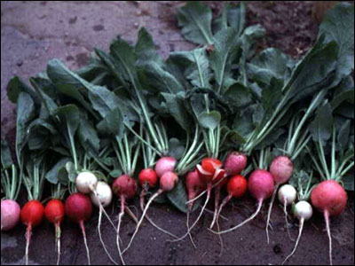 Radishes. Image Credit UF / IFAS Solutions.
