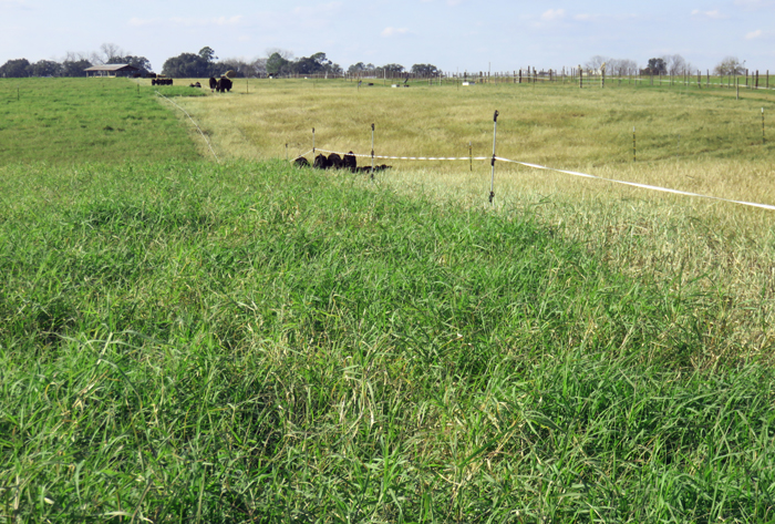 Tifton 85 Bermudagrass can be stockpiled from August through October and then grazed prior to the hard freezes that generally come in mid-January. Temporary electric fences are gradually moved across the field to limit graze the stockpiled grass. Photo taken December 9, 2015 by Doug Mayo.