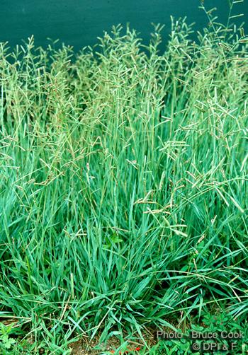 Brunswick Grass - Paspalum_nicorae