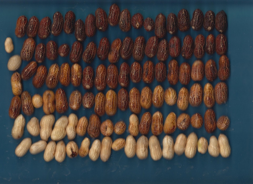 """Blasted"" pods prepared for scanning. The scanned image is analyzed to determine maturity and generate a recommended harvest date. Photo credit: Mark Mauldin"