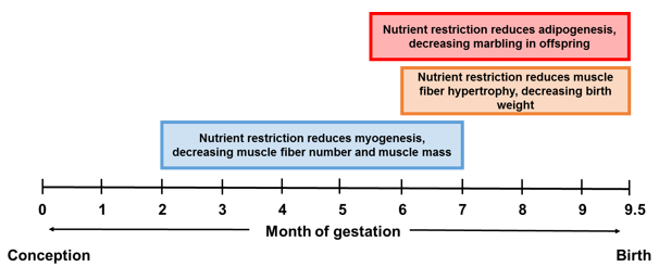 Figure 1. Stages of fetal development of muscle and adipocytes that may be affected by nutrient restriction in cattle (Du et al., 2010).
