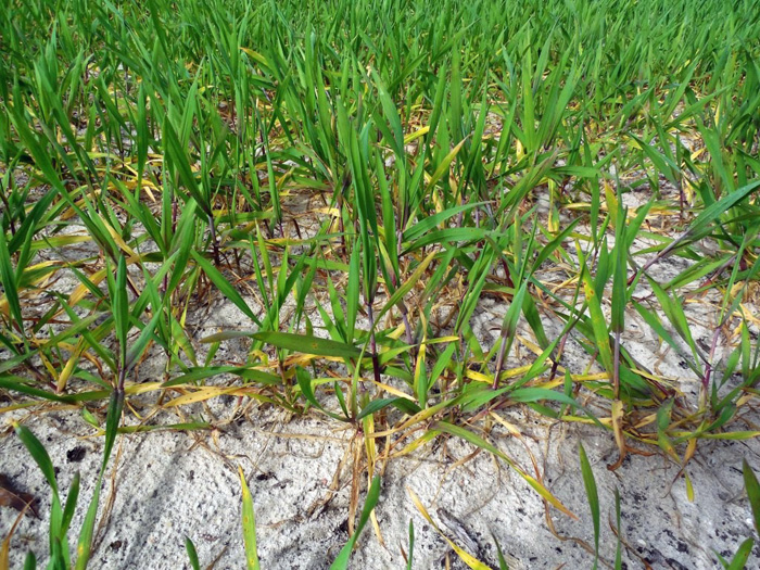 Figure 1. Nitrogen deficient triticale forage. Notice older leaves are yellow and stems have a purple cast. Photo credit: Cheryl Mackowiak