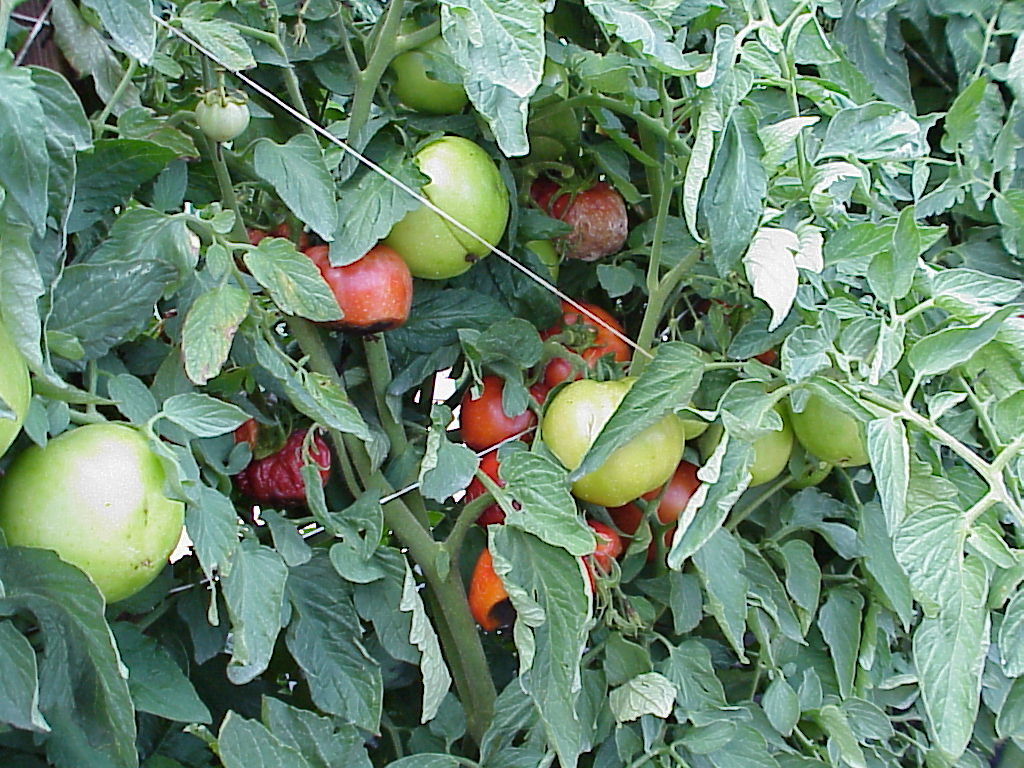 Usually in the second week of June we often start noticing blossom-end rot (BER), especially in tomatoes. BER can be a serious drag on total yield, up to 30% yield loss.