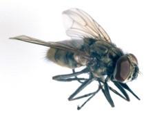 Figure 1 Adult Horn Fly. Credit J.F. Butler, University of Florida