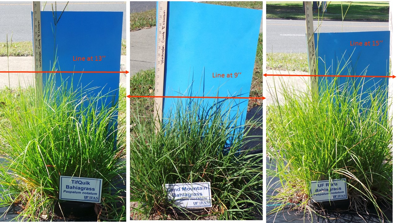 Close-ups of three of the six varieties. All images were taken on the same day and all varieties have been managed exactly the same. Photo Credit: Mark Mauldin