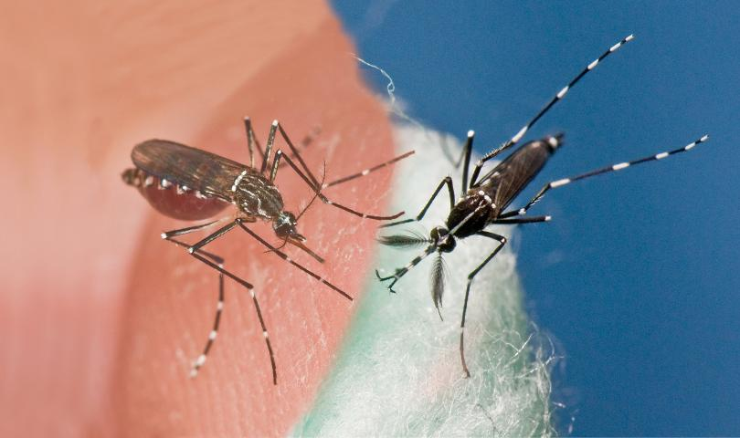 The invasive mosquitoes Aedes aegypti (left) and Aedes albopictus (right) occur in the Americas, including Florida, and have been implicated in the transmission of Zika virus.