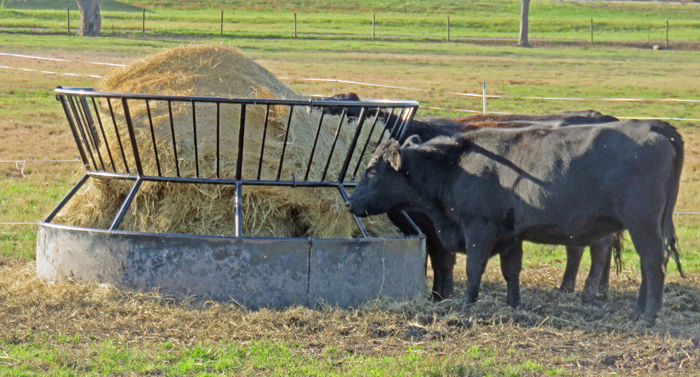 Hay is the most expensive feed for livestock because of the shear volume needed when pastures are dormant. Photo credit: Doug Mayo