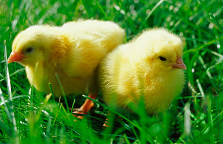 salmonella baby chicks