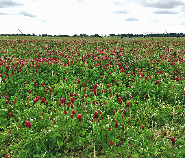 Figure 2. Cool-season mixture (FL401 Rye, RAM Oat, Crimson, Red, and Ball clover) at UF/IFAS-NFREC in Marianna. April, 2016. Photo credit: Jose Dubeux