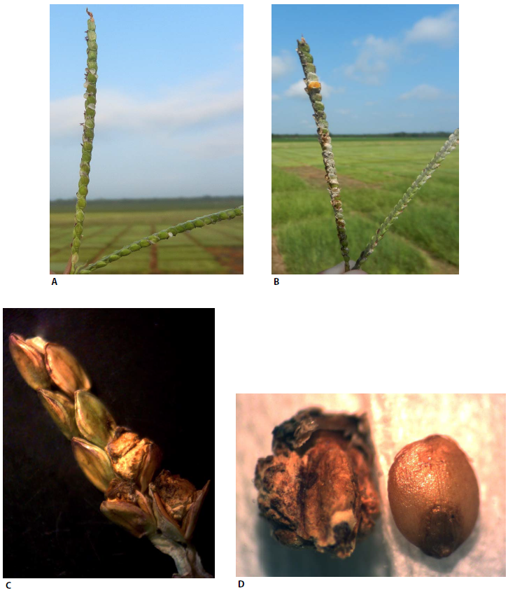 FIGURE 1 Ergot (Claviceps paspali Stevens and Hall) in 'Argentine' bahiagrass: (A) early stage of honeydew development at anthesis; (B) dried honeydew in approximate 40% of the seed head and saprophytic fungi growing in a seed head postanthesis; (C) seed head at the time of harvest with three florets whose seed was replaced by ergot (note how the fungal tissue forced the glumes apart) while the other florets were not affected by the fungus; (D) normal caryopsis fully developed, right, and caryopsis replaced by ergot, left. Source: Ergot Resistant Tetraploid Bahiagrass and Fungicide Effects on Seed Yield and Quality