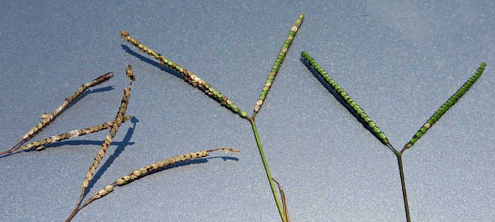 Ergot infected Argentine on the left and normal seadhead on the right