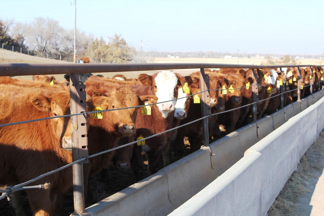 As January 1, 2017 nears, beef cattle producers need to be prepared for the Veterinary Feed Directive (VFD) regulation. Photo courtesy of Troy Walz.