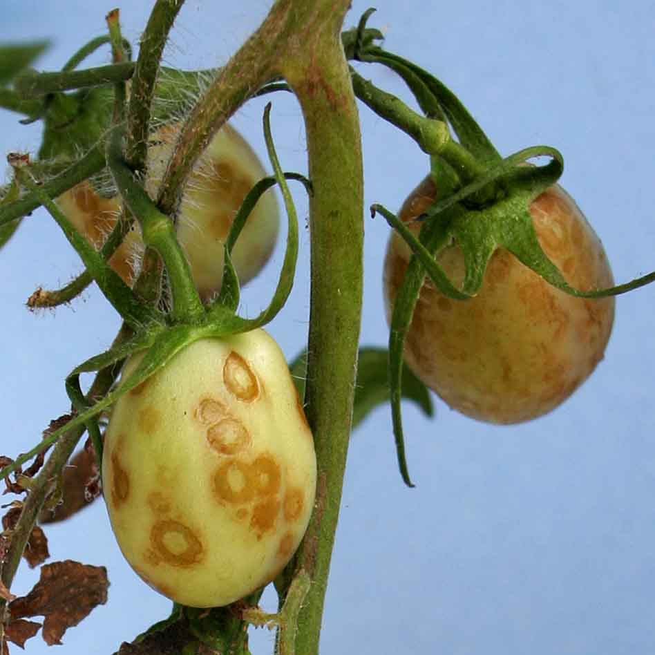 Figure 2. Necrotic rings on immature tomato fruits from plant infected with Tomato necrotic streak virus.