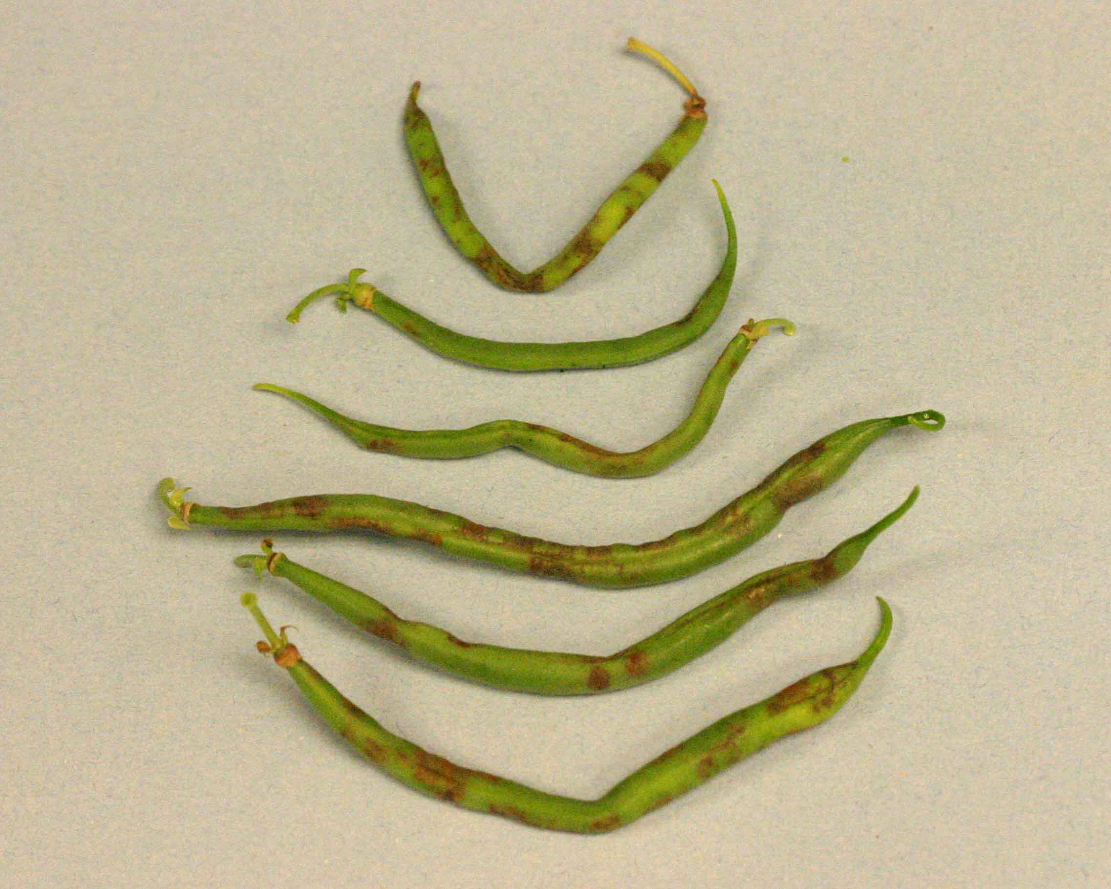 Figure 4. Necrotic spots on green bean pods from plant infected with Tobacco streak virus.