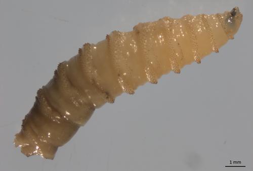 Screwworm larvae. Credit: Heather Stockdale Walden, University of Florida