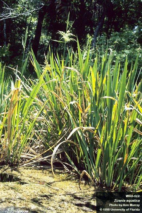 rice-wild-zizania-uf